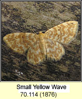 Small Yellow Wave, Hydrelia flammeolaria