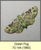 Green Pug, Pasiphila rectangulata