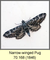 Narrow-winged Pug, Eupithecia nanata