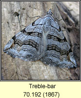 Treble-bar, Aplocera plagiata