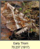Early Thorn, Selenia dentaria