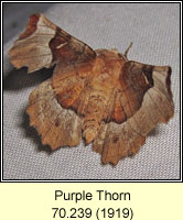 Purple Thorn, Selenia tetralunaria