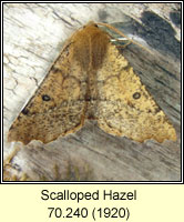 Scalloped Hazel,Odontopera bidentata
