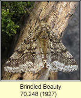 Brindled Beauty, Lycia hirtaria