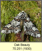 Oak Beauty, Biston strataria