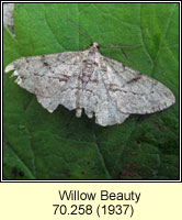 Willow Beauty, Peribatodes rhomboidaria