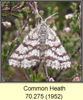 Common Heath, Ematurga atomaria