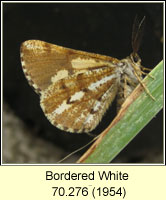 Bordered White, Bupalus piniaria