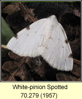 White-pinion Spotted, Lomographa bimaculata