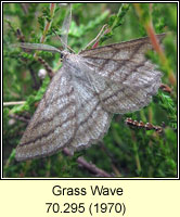 Grass Wave, Perconia strigillaria