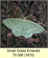 Small Grass Emerald, Chlorissa viridata