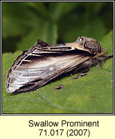 Swallow Prominent, Pheosia tremula