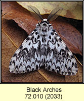 Black Arches, Lymantria monacha