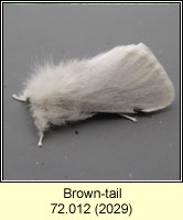 Brown-tail, Euproctis chrysorrhoea