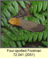 Four-spotted Footman, Lithosia quadra