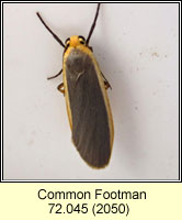 Common Footman, Eilema lurideola