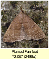 Plumed Fan-foot, Pechipogo plumigeralis
