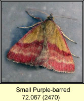 Small Purple-barred, Phytometra viridaria