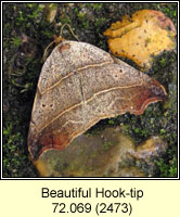 Beautiful Hook-tip, Laspeyria flexula