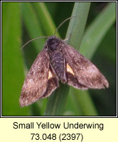 Small Yellow Underwing, Panemeria tenebrata