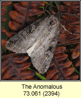 Anomalous, Stilbia anomala