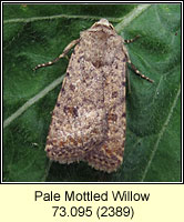 Pale Mottled Willow, Paradrina clavipalpis