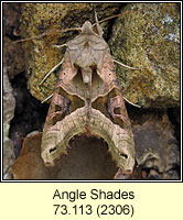 SAngle Shades, Phlogophora meticulosa