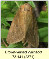 Brown-veined Wainscot, Archanara dissoluta
