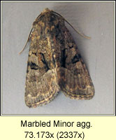 Marbled Minor agg, Oligia strigilis agg