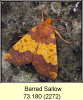 Barred Sallow, Xanthia aurago
