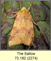 The Sallow, Xanthia icteritia