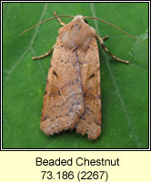 Beaded Chestnut, Agrochola lychnidis