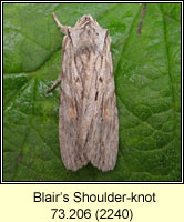 Blair's Shoulder-knot, Lithophane leautieri