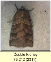 Double Kidney, Ipimorpha retusa