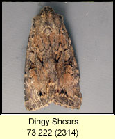 Dingy Shears, Apterogenum ypsillon