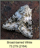 Broad-barred White, Hecatera bicolorata