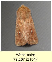 White-point, Mythimna albipuncta