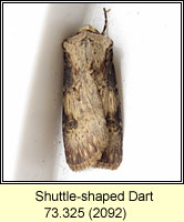 Shuttle-shaped Dart, Agrotis puta