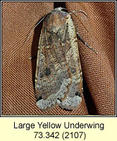Large Yellow Underwing, Noctua pronuba