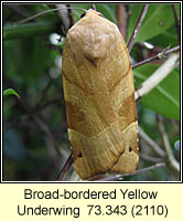 Broad-bordered Yellow Underwing, Noctua fimbriata