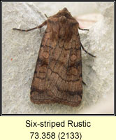 Six-striped Rustic, Xestia sexstrigata