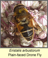 Eristalis arbustorum, Plain-faced Drone Fly