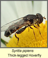 Syritta pipiens, Thick-legged Hoverfly