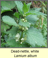 Dead-nettle, white, Lamium album