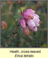 Heath, Cross-leaved, Erica tetralix