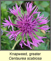 Knapweed, Greater, Centaurea scabiosa