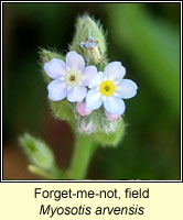 Forget-me-not, field, Mysotis arvensis