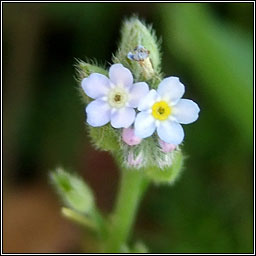 Field Forget-me-not, Myosotis arvensis