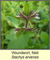 Woundwort, field, Stachys arvensis