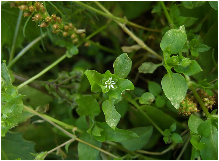 Common Chickweed, Stellaria media